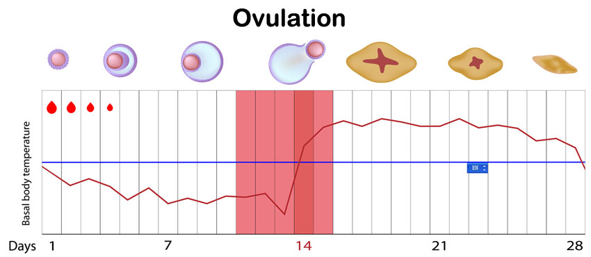 Dating a pregnancy by period or ovulation