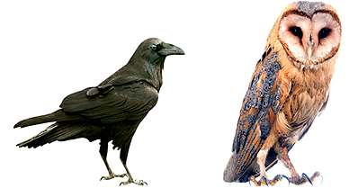 owl-and-raven